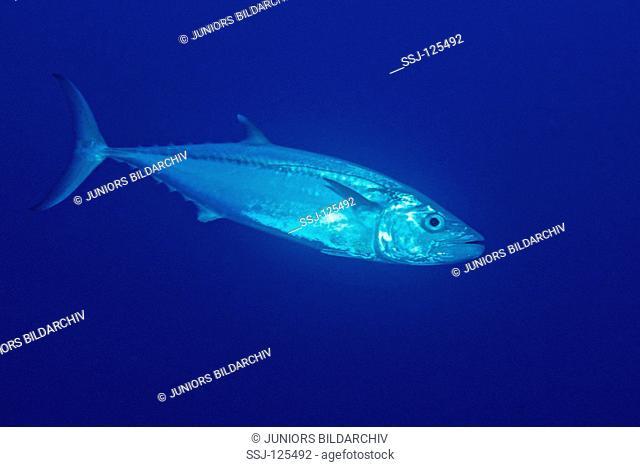 Dogtooth tuna, Gymnosarda unicolor, Egypt, Rocky Island, Red Sea