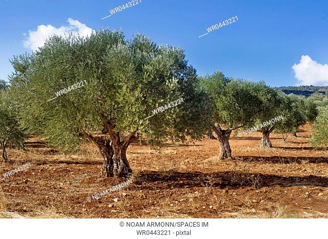 Olive Grove in Galille