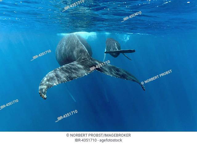 Humpback whale (Megaptera novaeangliae), female, cow, with young, calf, in the open sea, Silver Bank, Silver and Navidad Bank Sanctuary, Atlantic Ocean