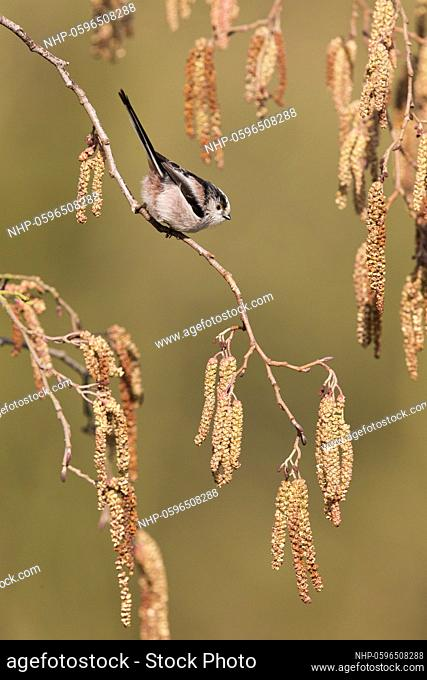 Long-tailed Tit (Aegithalos caudatus) adult perched on Alder (Alnus glutinosa) twig with catkins, Suffolk, England, March, Credit:Paul Sawer / Avalon
