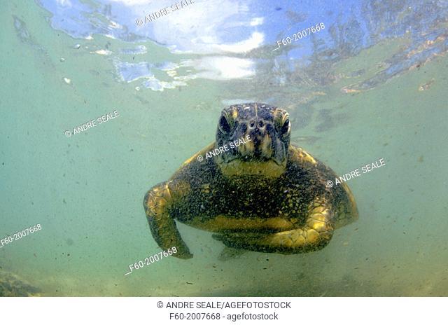 Green sea turtle, Chelonia mydas, at Laniakea or Turtle Beach, Oahu, Hawaii, USA