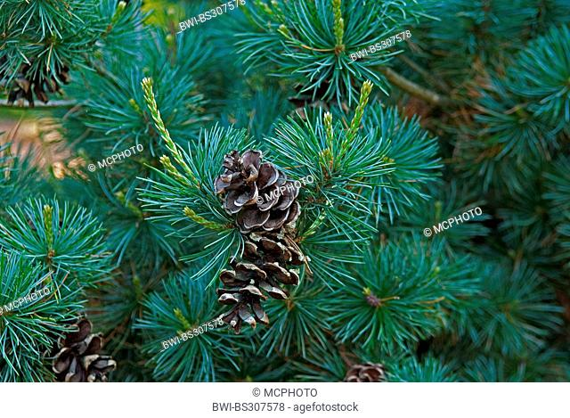 Japanese white pine (Pinus parviflora 'Negishi', Pinus parviflora Negishi), cultivar Negishi, branch with cones