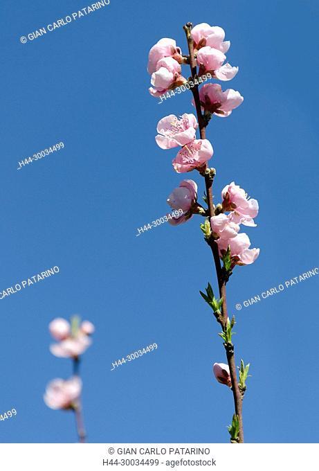 Peach branch in bloom