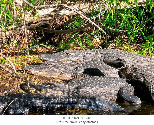 Group of Alligators resting in Sun