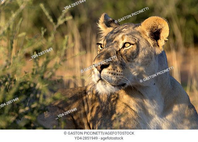 African lion (Panthera leo) -Female, in the bush, Kgalagadi Transfrontier Park, Kalahari desert, South Africa/Botswana