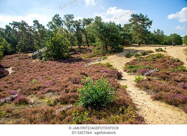 pink blossoming heather in Holland