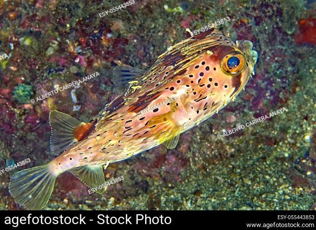Fine-spotted Porcupinefish, Diodon holocanthus, Lembeh, North Sulawesi, Indonesia, Asia