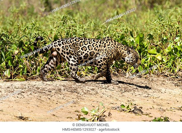 Brazil, Mato Grosso, Pantanal area, listed as World Heritage by UNESCO, jaguar (Panthera onca), male