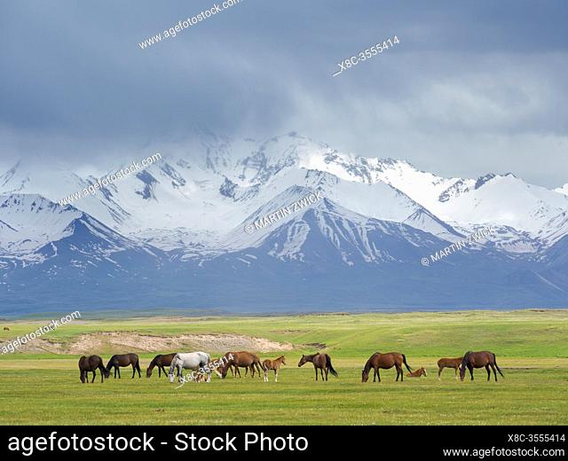 Horses on their summer pasture. Alaj Valley in front of the Trans-Alay mountain range in the Pamir mountains. Asia, central Asia, Kyrgyzstan
