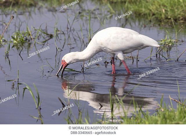 Africa, Southern Africa, Bostwana, Chobe i National Park, Chobe river, . African spoonbill (Platalea alba), looking for food in a marsch