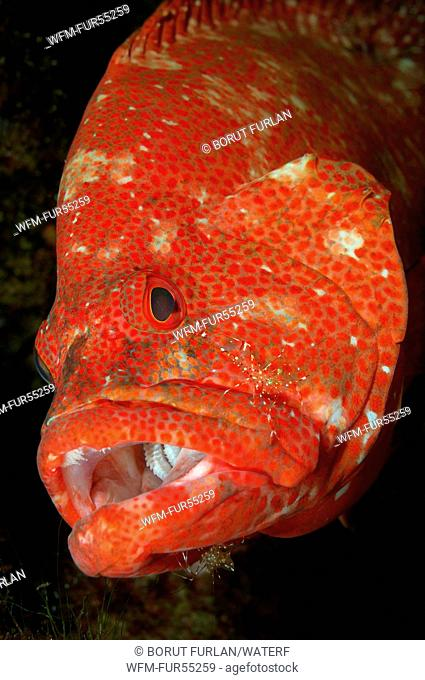 Grouper cleaned by Cleaner Shrimp, Cephalopholis sp., Urocaridella sp., Bali, Seraya, Indonesia