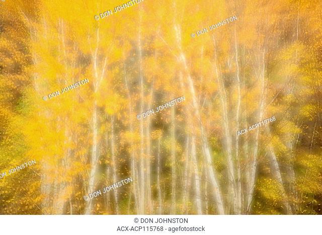Autumn birch trees, Greater Sudbury, Ontario, Canada