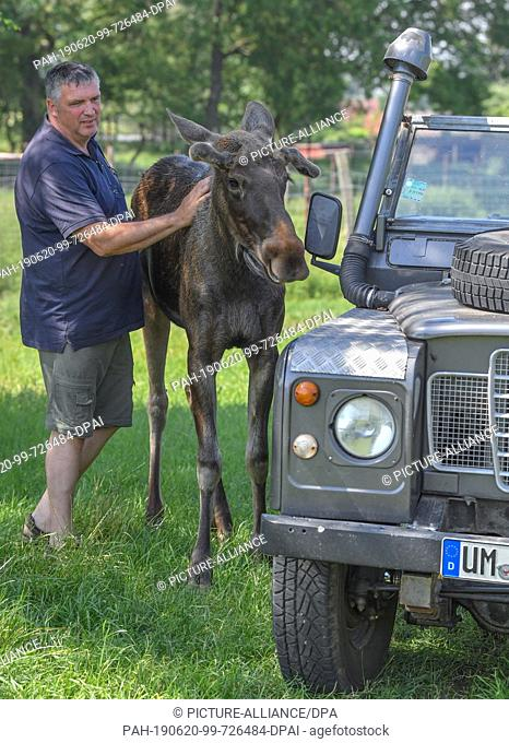 19 June 2019, Brandenburg, Kleptow: Thomas Golz, owner of the game reserve Golz Elch and reindeer farm, stands next to the one year old moose bull Juri
