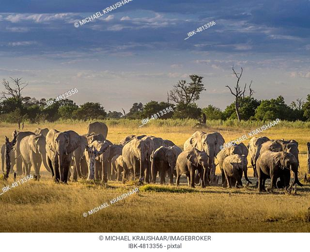 Elephant herd (Loxodonta africana) on the way to the water, Moremi National Park, Botswana