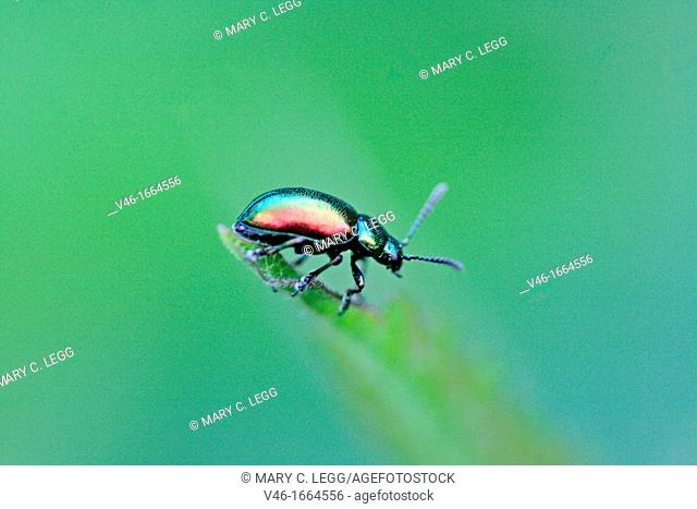 Chrysolina graminis, Tansy Beetle  Mint beetle  Chrysomela graminis, Euchrysolina graminis Perched on the tip of a tansy leaf  Side profile  Small chrysomelid...