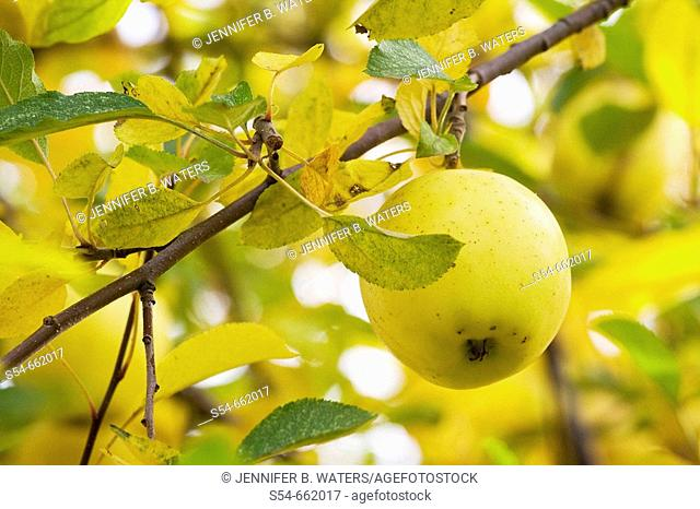 A ripened Golden Delicious apple still on the tree