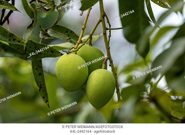 Chiang Rai province, northern Thailand, Asia, Mangoes on the Tree, Plantation