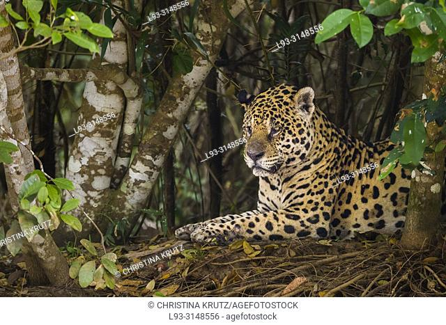 Adult Jaguar (Panthera onca) resting on the edge of a river, Pantanal, Mato Grosso, Brazil