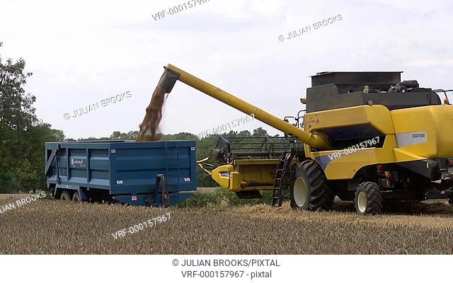 Yellow combine harvester loading wheat into a trailer