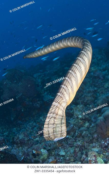 Chinese Sea Snake (Laticauda semifasciata, Elapidae family) with fiah in background, Snake Ridge dive site, Gunung Api, Banda Sea, Indonesia