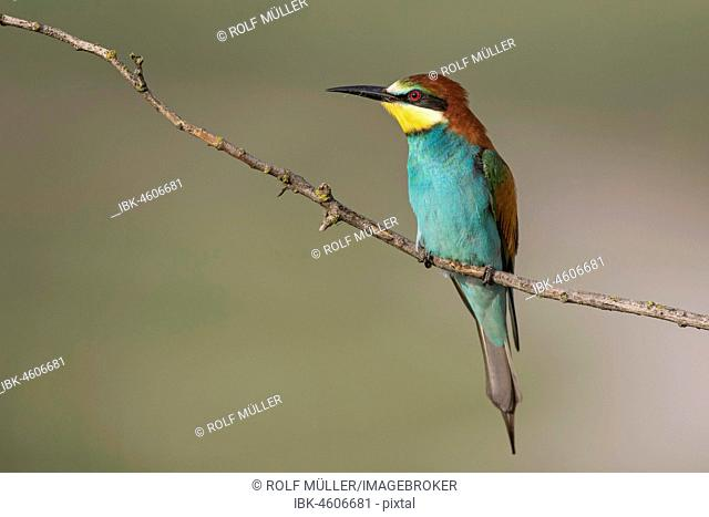 Bee-eater (Merops apiaster) on a branch, Biosphere Reserve Danube Delta, Dobruja, Romania