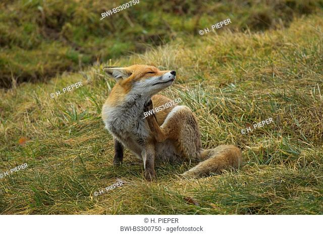 red fox (Vulpes vulpes), sitting in a meadow grooming, Germany