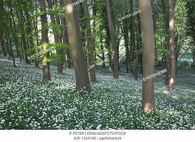 Ramsons Allium ursinum or Wild Garlic nr Dorchester Dorset