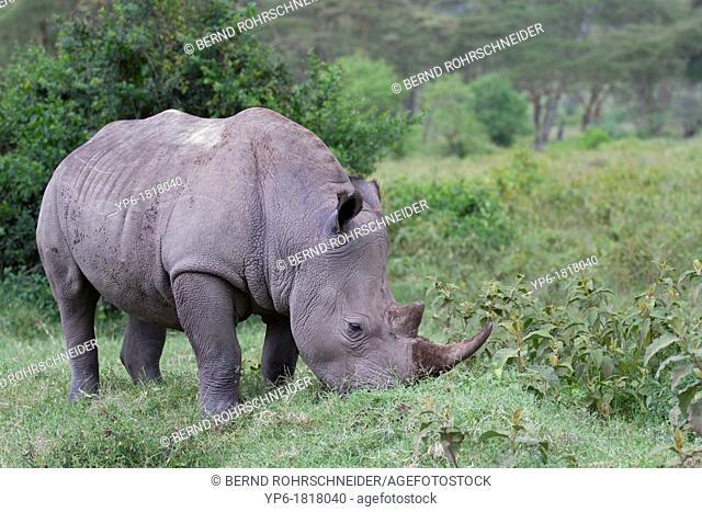 grazing White Rhinoceros Ceratotherium simum, Lake Nakuru National Park, Kenya