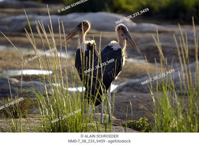 Two Marabou Storks Leptoptilus Crumeniferus standing on rocks, Kruger Park, South Africa