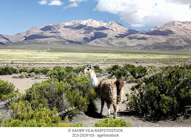 Lama, National park of Sajama, Altiplano, Bolivia