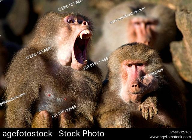 baboon teeth
