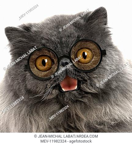 Cat - Blue Persian wearing glasses smiling laughing moth open Digital manipulation