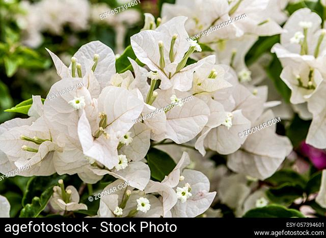close up on very beautiful white flowers