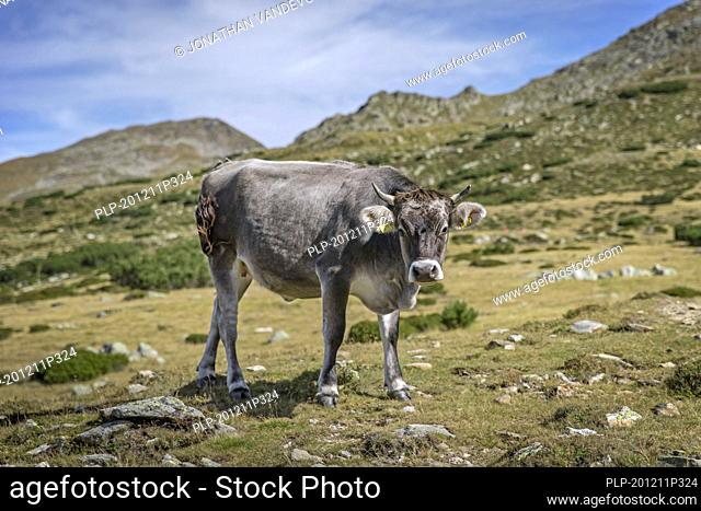 Grey cow on Alpine pasture in summer, South Tyrol / Alto Adige, Italy