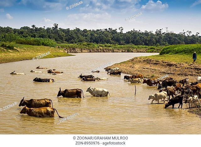 Cattle Crossing The River Santarem Brazil