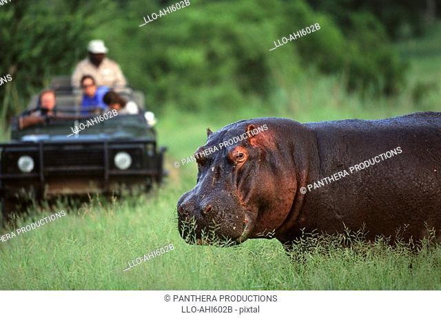 Tourists Viewing a Hippo Hippopotamus amphibius from a Safari Vehicle  Kasunga National Park, Malawi
