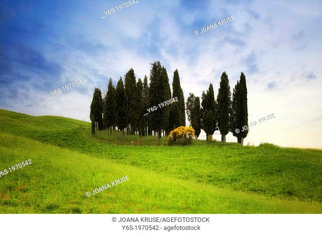 cypresses near Montalcino in Val d'Orcia, Tuscany, Italy