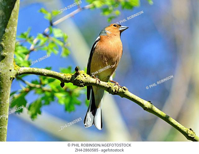 Male Chaffinch (Fringilla coelebs) perched in a tree