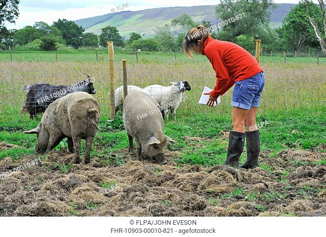 Domestic Pig, Mangalitza gilts, feeding, being fed by owner in paddock, sheep in goat in next paddock, England, july