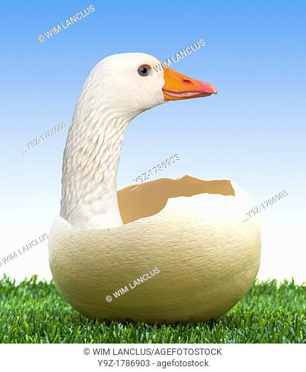 Being born again concept with goose in egg on grass