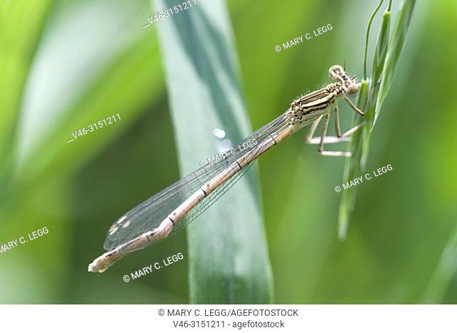 Female White-legged Damselfly, Platycnemis pennipes with damaged tail. White-legged Damselfly, Platycnemis pennipes, Blue Featherleg