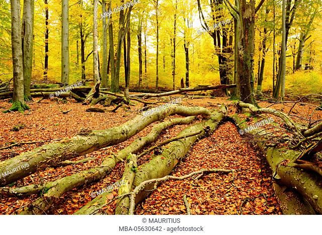 Deadwood, close to nature mixed deciduous forest with old oaks and beeches, autumn, nature reserve Spessart, Weibersbrunn, Bavaria, Germany, Europe
