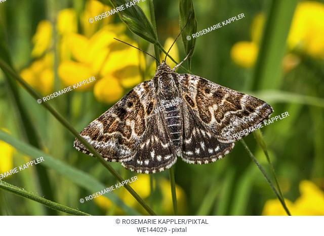 Germany, saarland, bexbach - A mother shipton moth is sitting on bloomfell
