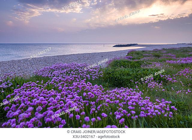 Thrift (Armeria maritima) growing along the beach in spring at Selsey, West Sussex, England