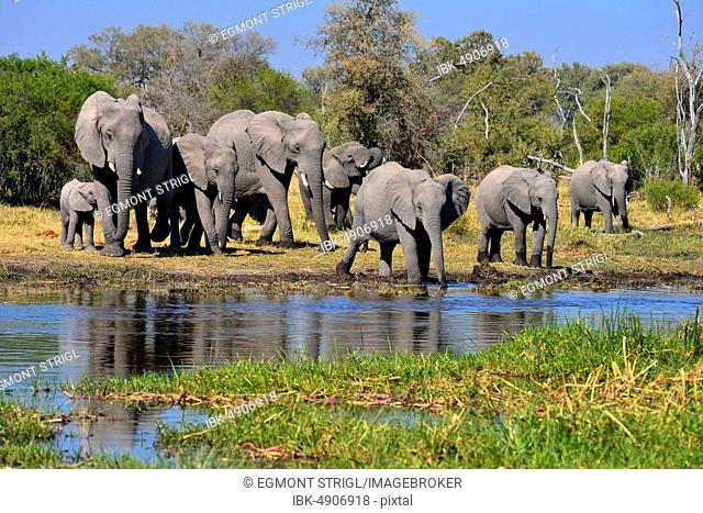 African elephants (Loxodonta africana), herd with young animals at Khwai river, Moremi Game Reserve, Botswana, Africa