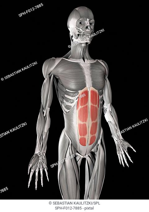 Human abdominal muscles (rectus abdominis), illustration