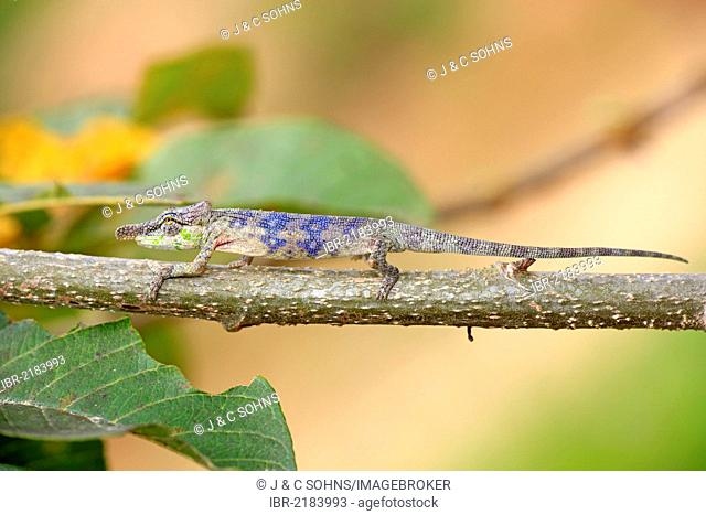 Big-nosed Chameleon (Calumma nasutum), male, foraging, Madagascar, Africa
