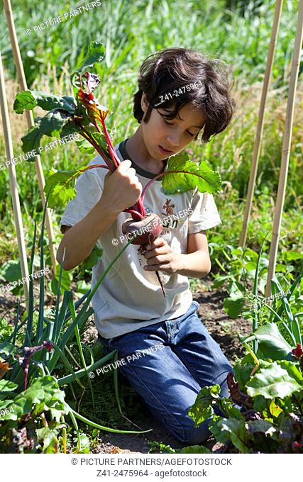 Little boy in the vegetable garden looking at a fresh picked red beet