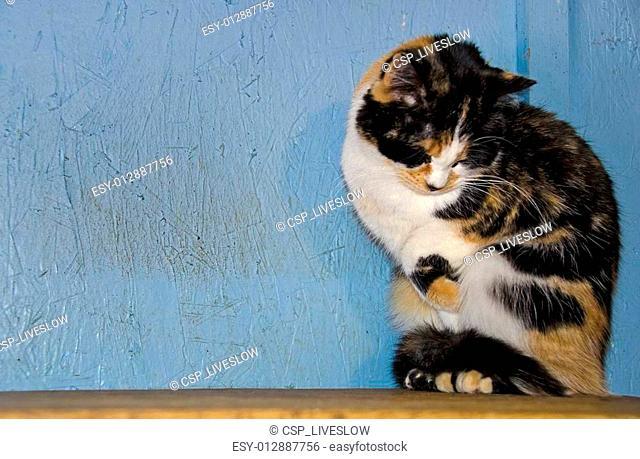 shy calico cat