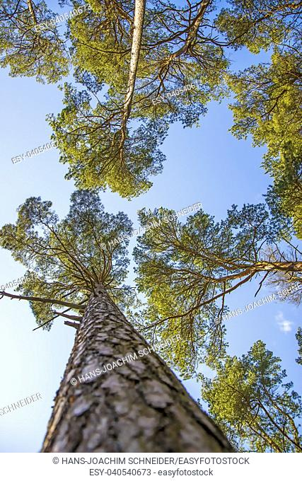 The Scots pine with blue sky. Poland